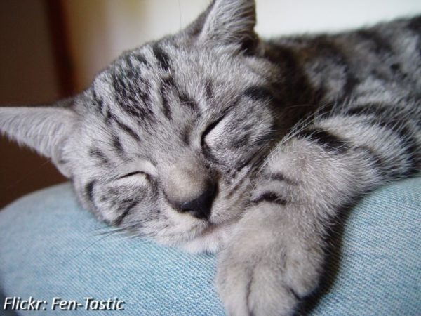 Silver Tabbies Are Striking Cats With Light Gray And White Fur