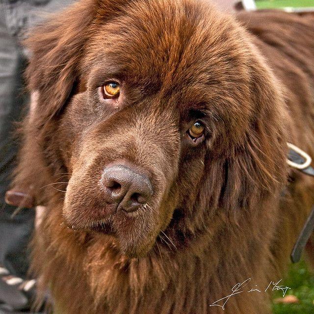 brownnewfoundland Dog