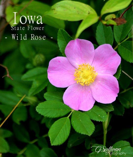 Iowa State Flower Wild Rose Flower Photos Flower Art