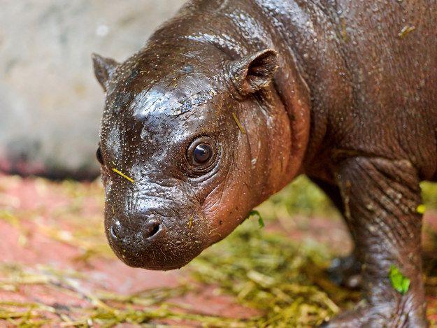 Dieses Zwergflusspferd | 31 Tiere, die niedlicher als Katzen sind