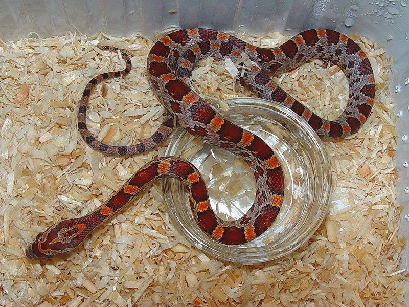 Baby Corn Snakes Various Morphs Corn Snake Snake Reptile Snakes