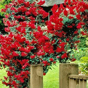 Cottage Farms Direct...these climbing roses are so beautiful. And I LOVE their prices!