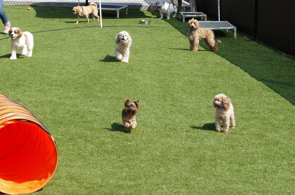 Doogy Daycare Dog Turf By Dream Turf Dog Turf Seattle Dogs