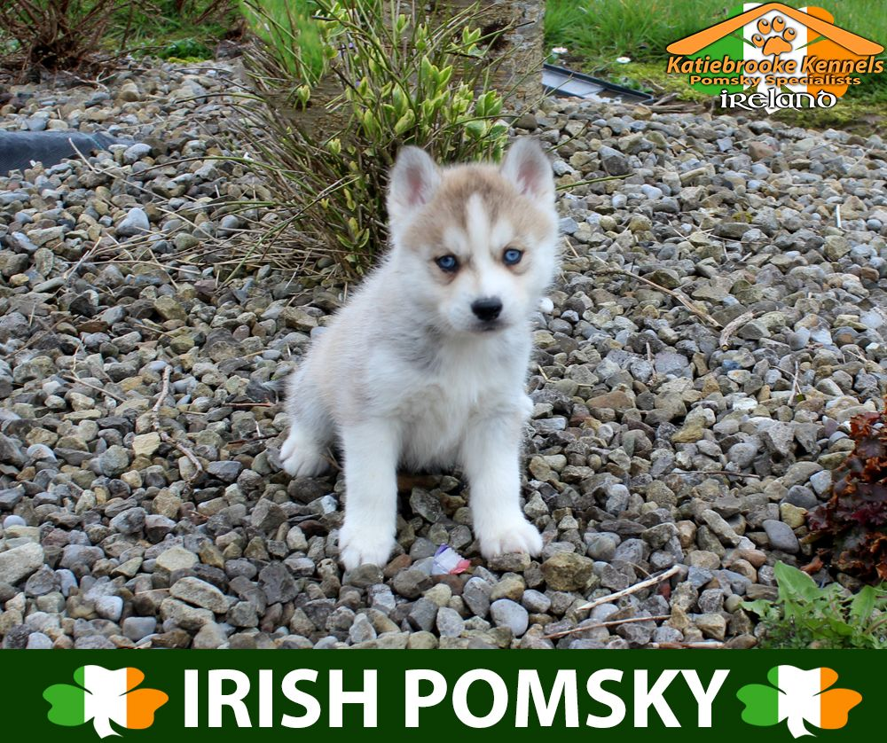 Katiebrooke Kennels Pomsky Specialists Ireland 2000 Uk 2500