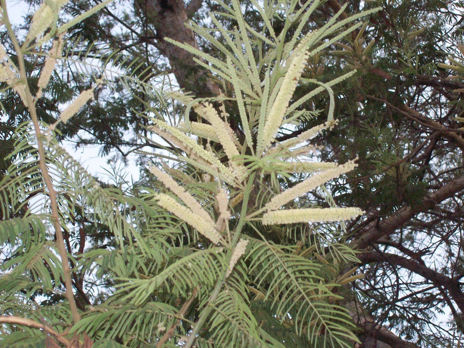 Cutch Acacia Catechu Has Been Used As An Astringent Since Ancient Times In Ayurvedic Medicine As Well As In Breath Fr Indian Veg Recipes Kerala Ancient Times