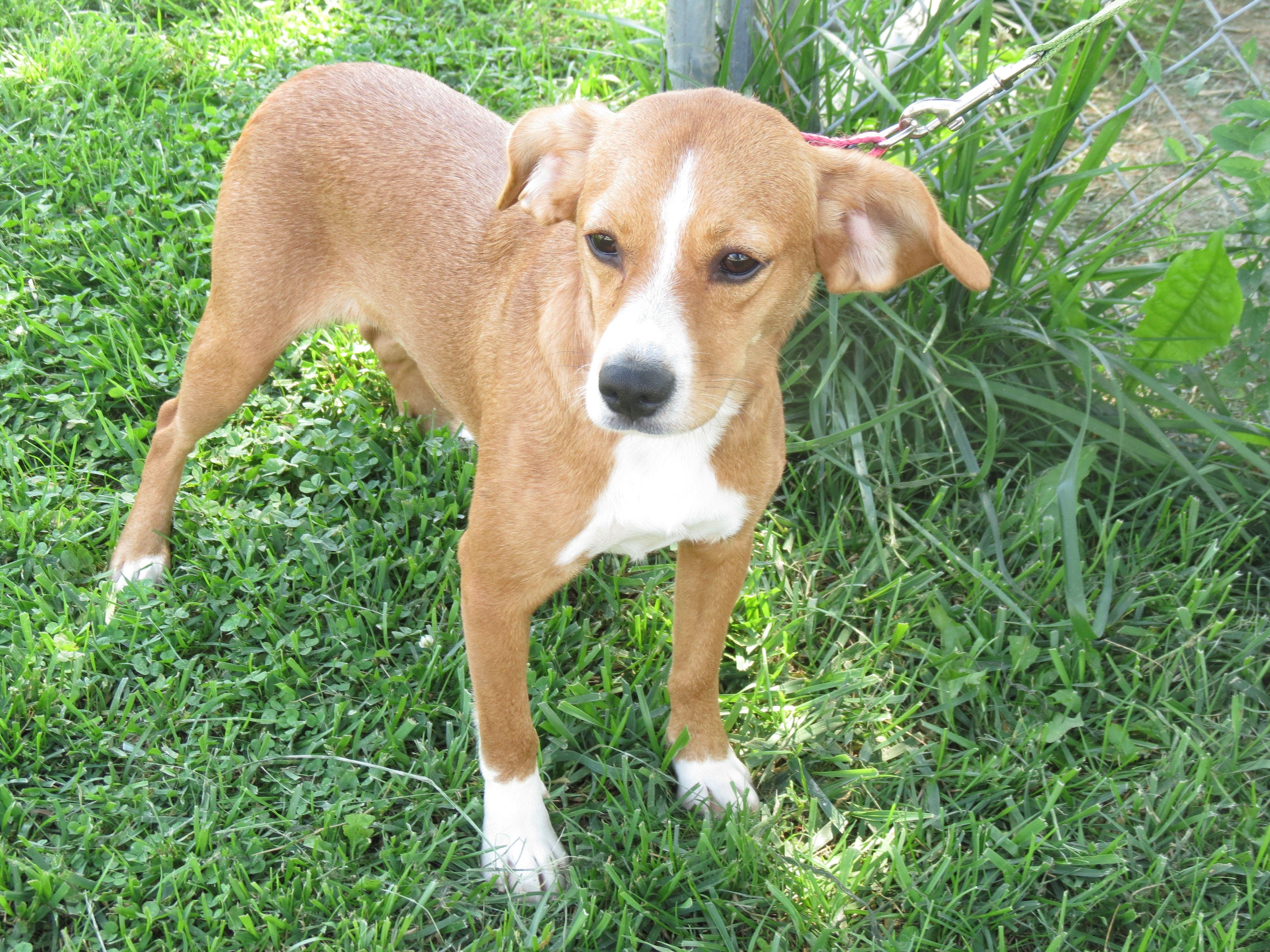 Adopt izzy on petfinder dog adoption beagle mix
