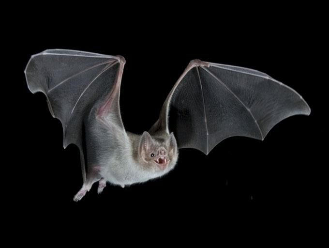 Images Of Bats Common Vampire Bats Live On Mammalian Blood Alone