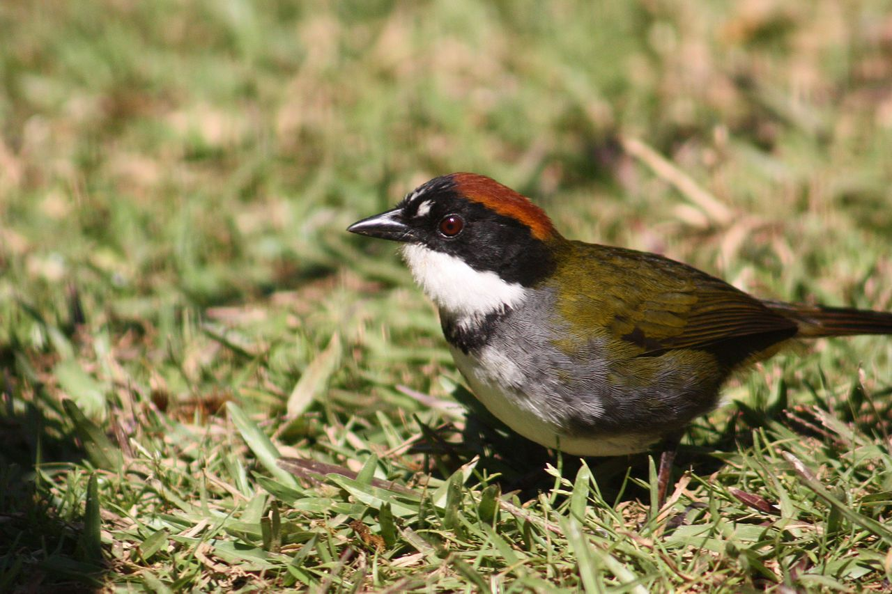 From Wikiwand: Chestnut-capped brush finch