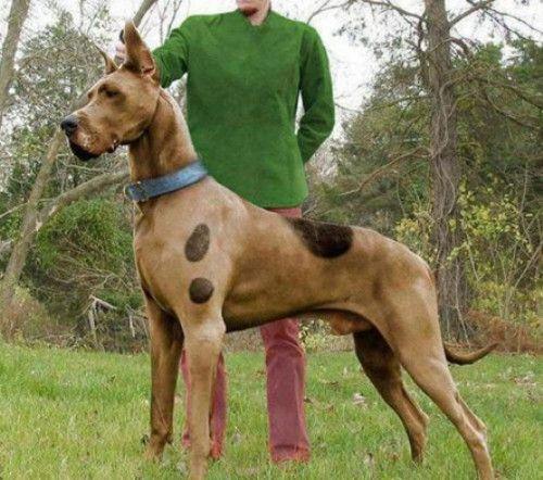 Ahahahaha A Real Life Scooby Doo Dog Halloween Costumes Dog