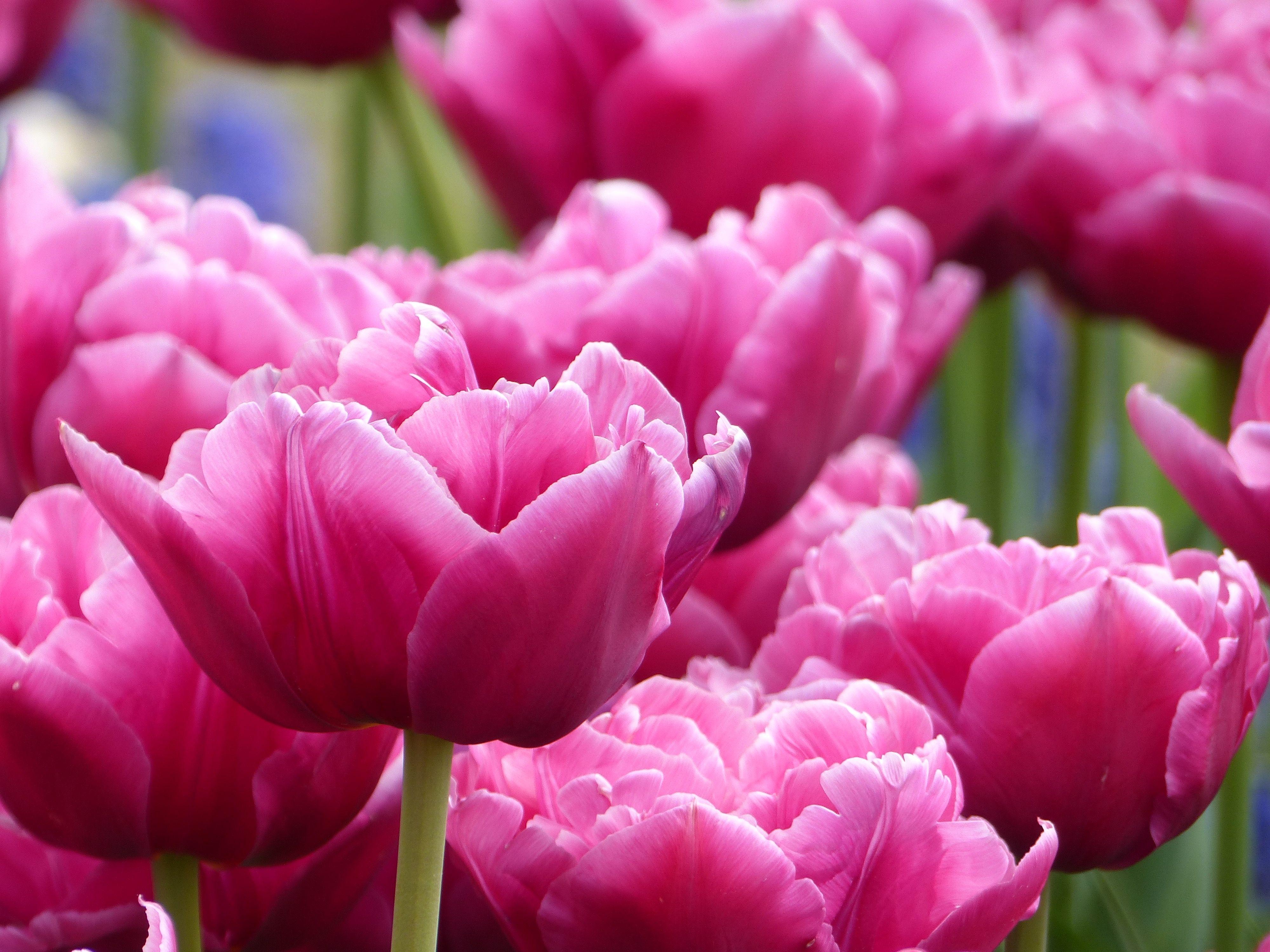 Tulpe Margarita Tulpen Tulpenzwiebeln Fruhlingsgarten
