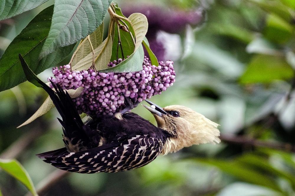 Blond-crested Woodpecker (Celeus flavescens)