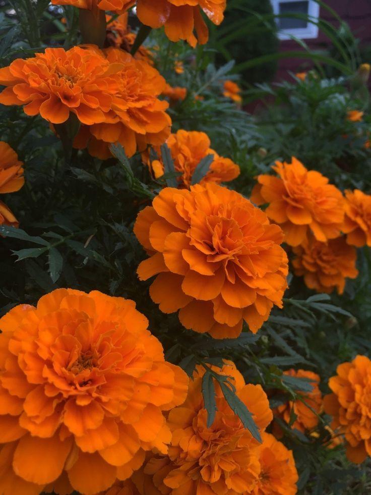 Plantsarefriendssometimesfood more marigolds orange