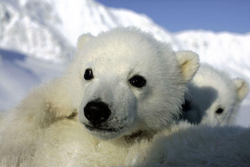 Polar Bear - Baby | Ice Bears.... | Pinterest