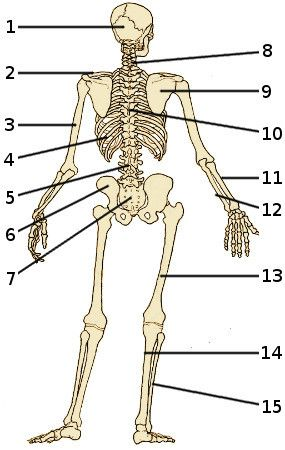 The Skeletal System Bones Of The Human Skeleton From Behind