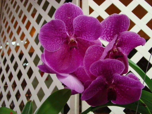 Fuchs Katsura X Vanda Orchid | robert s delight v kasem s delight x v madame rattana aer ...