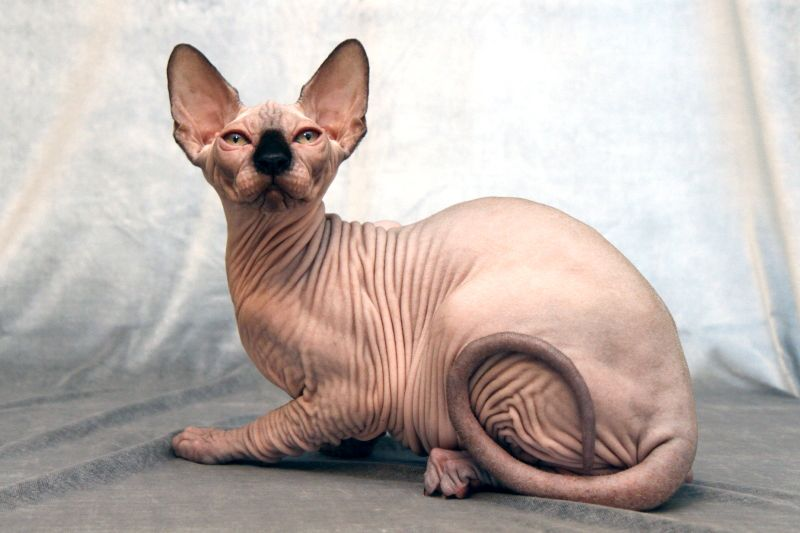 Cats Are Typically Fuzzy Soft Little Creatures That Enjoy A Good Snuggle Once In A While On Their Terms The Cats B Hairless Cat Cat Breeds Cat Breeds List