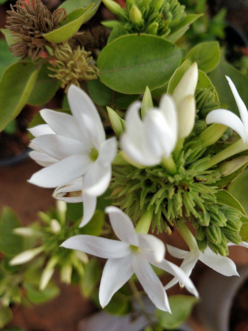 Hibrid Bunch Of Kaakada Flowers Srinavaratna Terrace Garden
