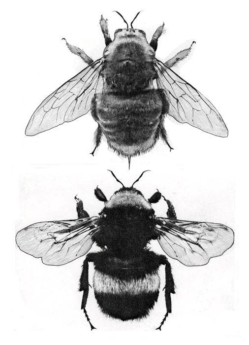 Bee Anatomy | Birds, Bugs & Butterflies … | Pinteres…