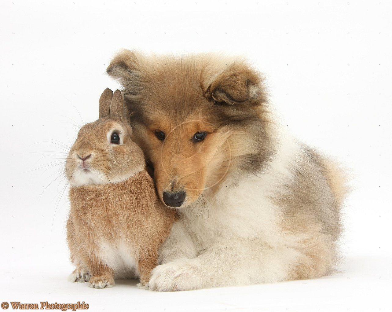 Puppy with his favorite bunny Rough collie, Shetland