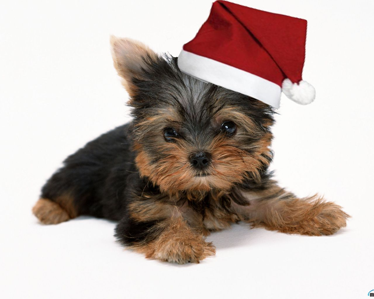yorkshire merry christmas doggy christmas pinterest