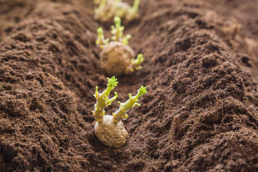 15 potato growing tips to significantly increase your
