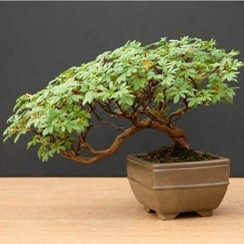 Bonsai CERAMIC TATTOO ART Bonsai trees for sale