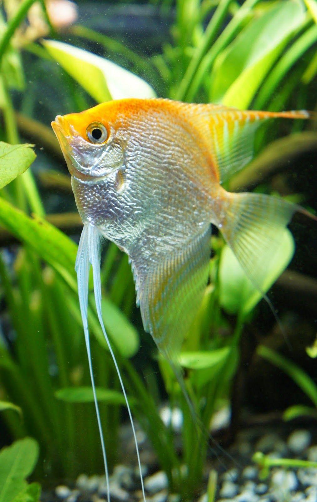 Tips 8 Angelfish Tank Mates To Accompany Your Angelfish Tag Angelfish Tank Mates Angelfish Tank Mates Aquarium Ange Angel Fish Aquarium Fish Freshwater Fish