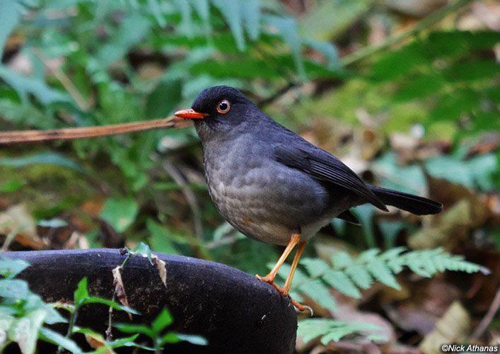 Slaty-backed_Nightingale-Thrush (Catharus fuscater) by Nick Athanas.