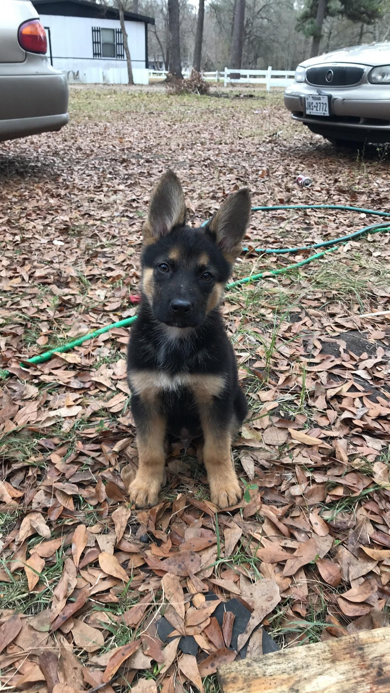 The Only Thing Growing Is His Ears At 12 Weeks German Shepherd