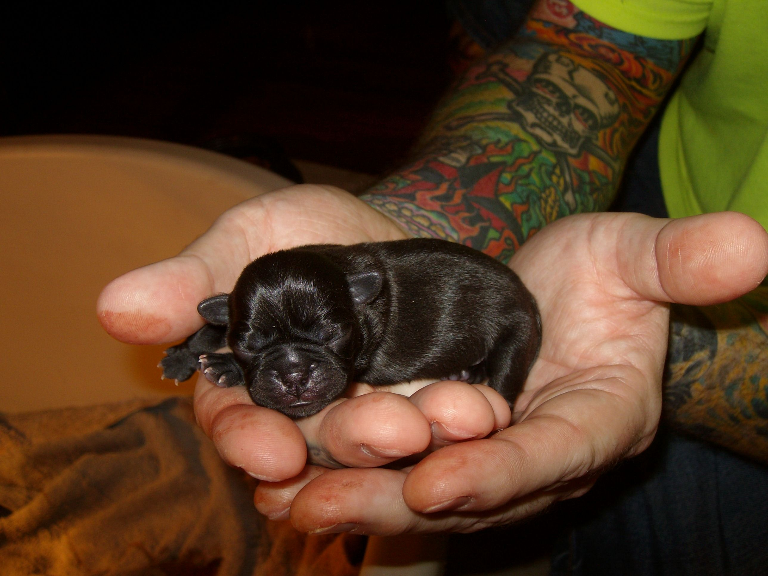 Pug Puppy Just After Birth And A Belly Full Of Mamma S Milk