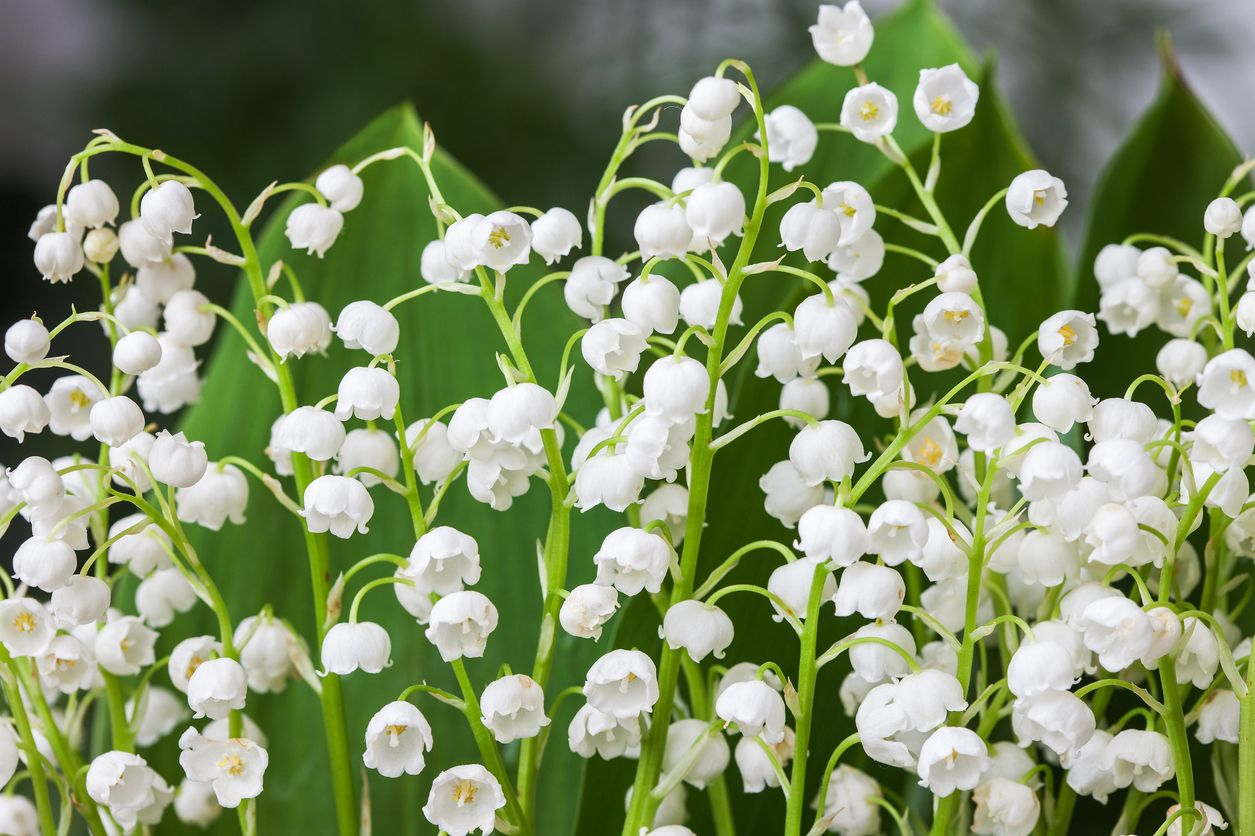 Lily of the valley plant types learn about different kinds of lily lily of the valley plant types learn about different kinds of lily of the valley plants izmirmasajfo Images