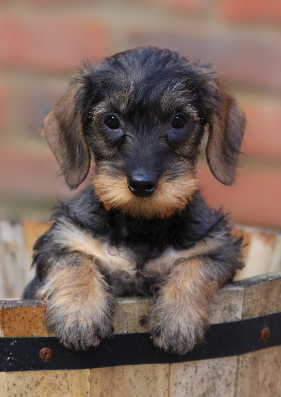 Pin By Katalin Toth On Haziallat Wirehaired Dachshund Puppy Wire Haired Dachshund Dachshund Puppies