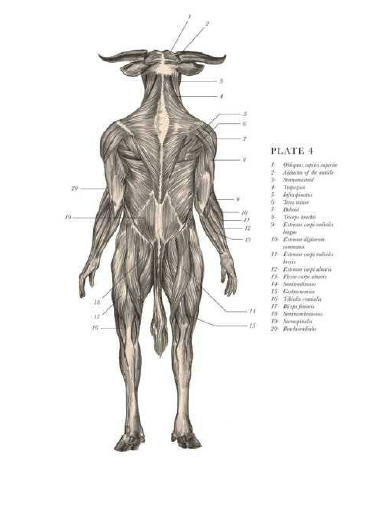 Minotaur Anatomy Old Fasioned And Fantasy Anatomy Pinterest