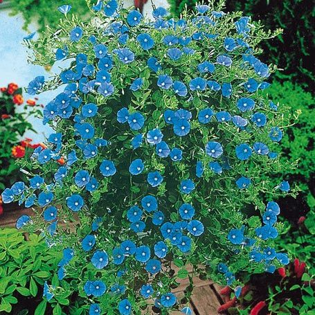 Grtner Ptschkes Blaue Mauritius  Hngepflanzen  Blumen