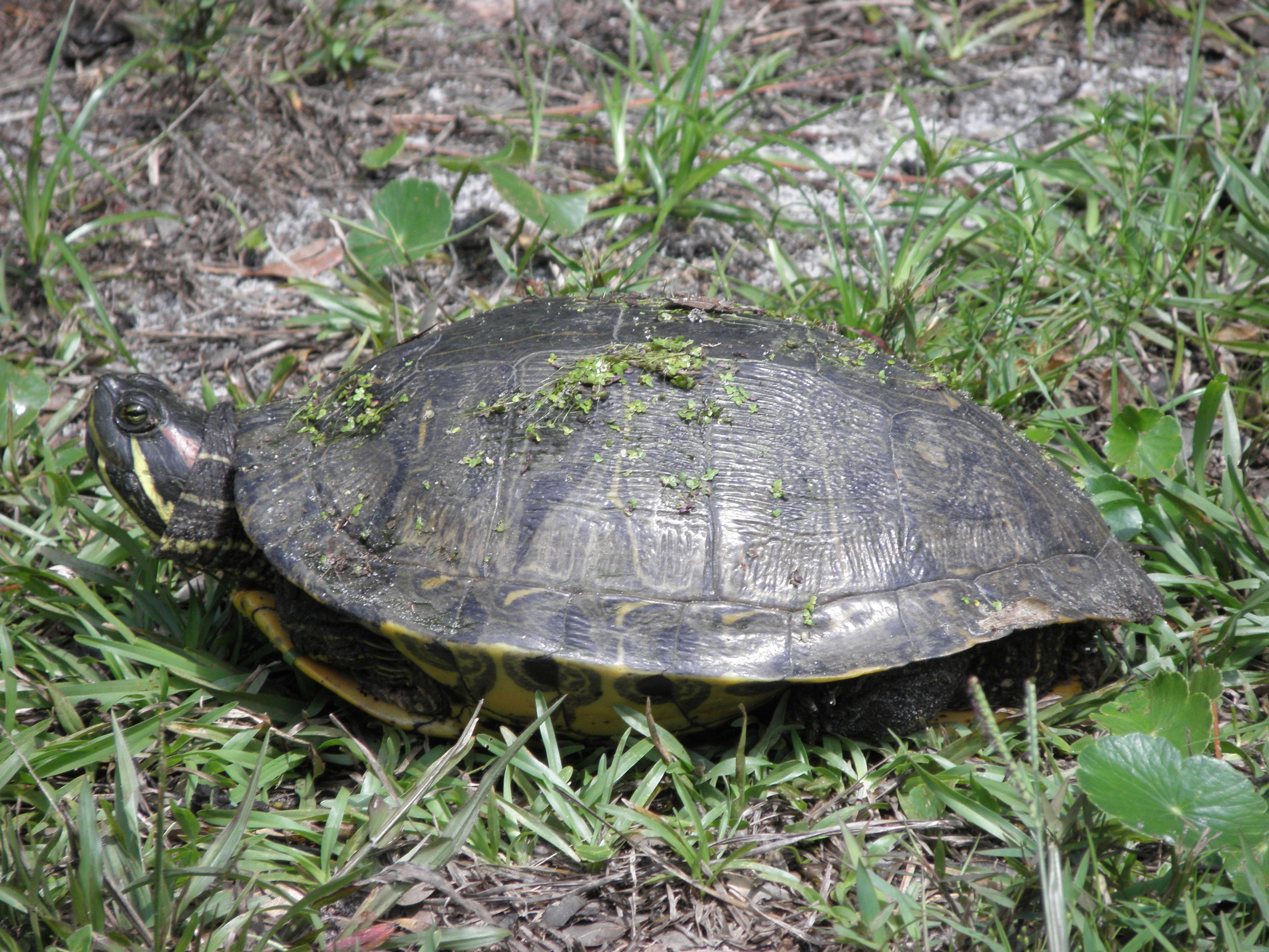 a florida red bellied turtle we think they come up from a small