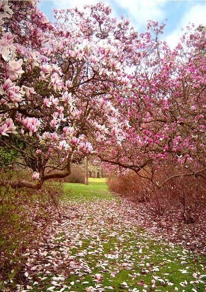 Enhancing Garden Design With Beautiful Flowers And Healing Bark Of Magnolia Trees Magnolia Gardens Magnolia Tree Landscaping Dream Garden