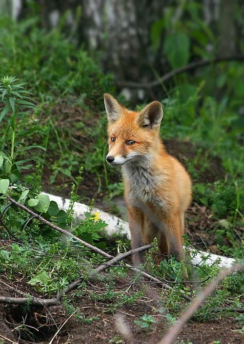 Red Fox by miskr