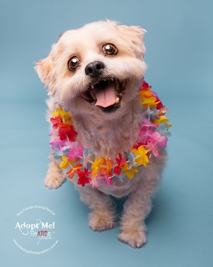 Benji Maltese X Http Thedogphotographers Com Au The Dog Photographers Perth West Dog Photograph Dog Photography Pet Photographer
