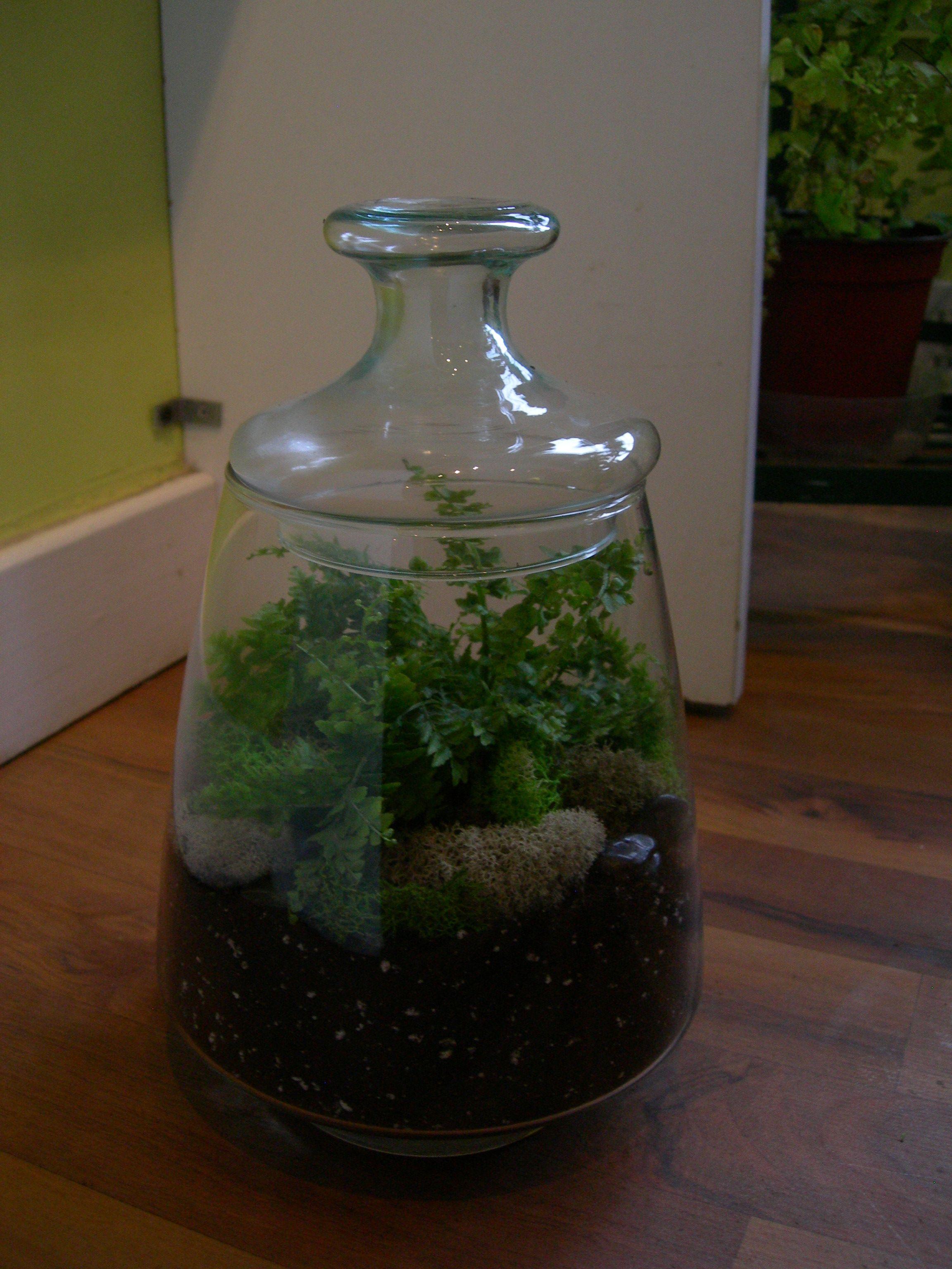 green fantasy fern terrarium plant o phile garden plants ferns. Black Bedroom Furniture Sets. Home Design Ideas