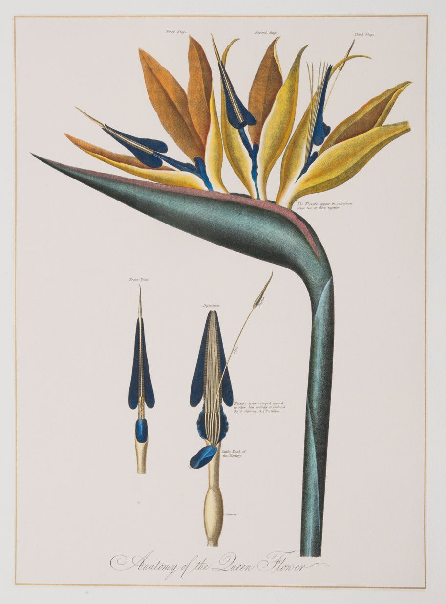 Anatomy Of The Queen Flower Botanical Drawings Fauna Illustration Botanical Poster