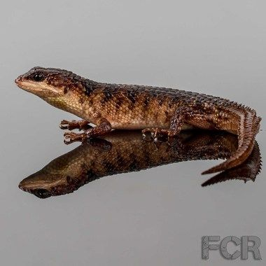b2c73719d33c5 Sulawesi Spiny Water Skinks