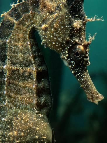 Male Seahorse Hippocampus Whitei Photographic Print George Grall Art Com In 2020 Male Seahorse Seahorse Sea Animals