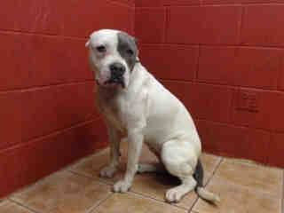 RESCUED BY LAST CALL K9 RESCUE! --- CLEMENTINE IS SO SAD! PLEDGES AND RESCUE NEEDED! A4798528 My name is Clementine and I'm an approximately 3 year old female pit bull. I am not yet spayed. I have been at the Downey Animal Care Center since February 6, 2015. I am available on February 10, 2015. You can visit me at my temporary home at D504. https://www.facebook.com/photo.php?fbid=812479705499030&set=pb.100002110236304.-2207520000.1423831951.&type=3&theater