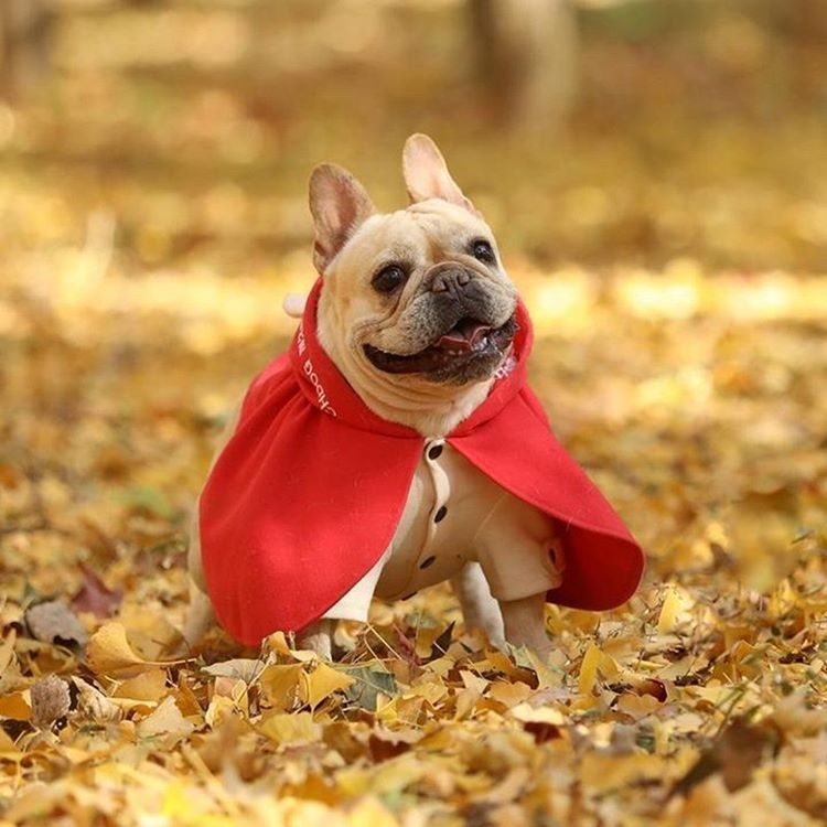 Pin By Debora Hy On Pugs Bulldogs Pitbulls Boston Terriers French Bulldog Big Dog Clothes French Bulldog Hoodie