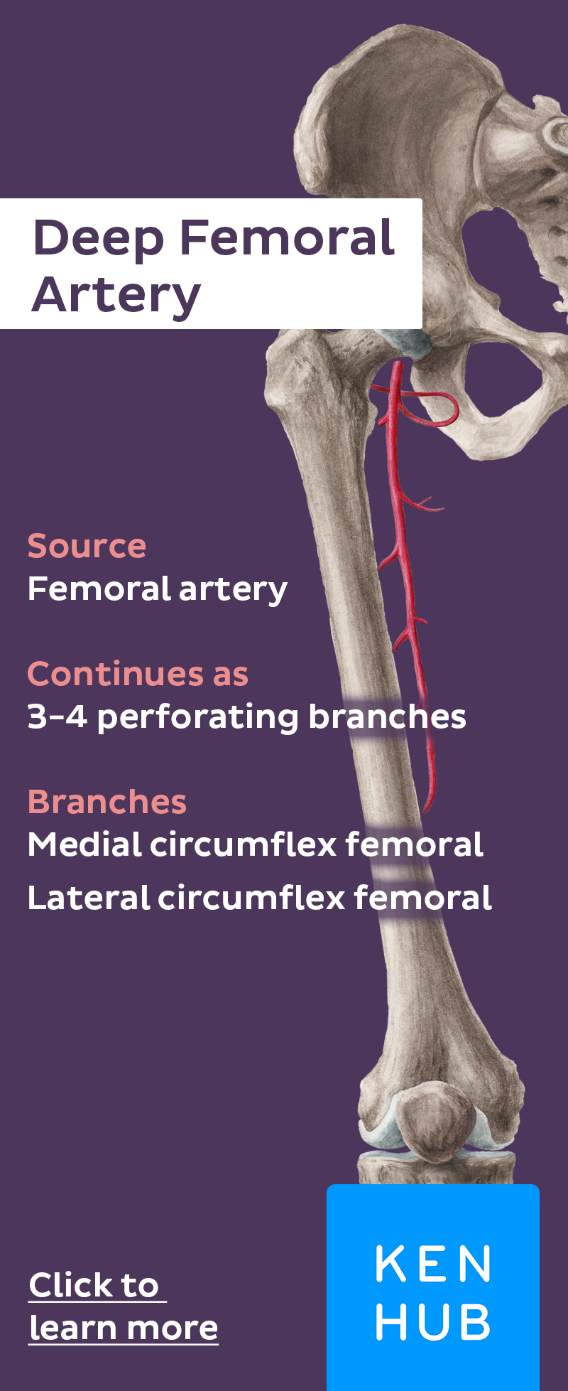 Femoral Artery | Anatomy, Medical and Physical therapy