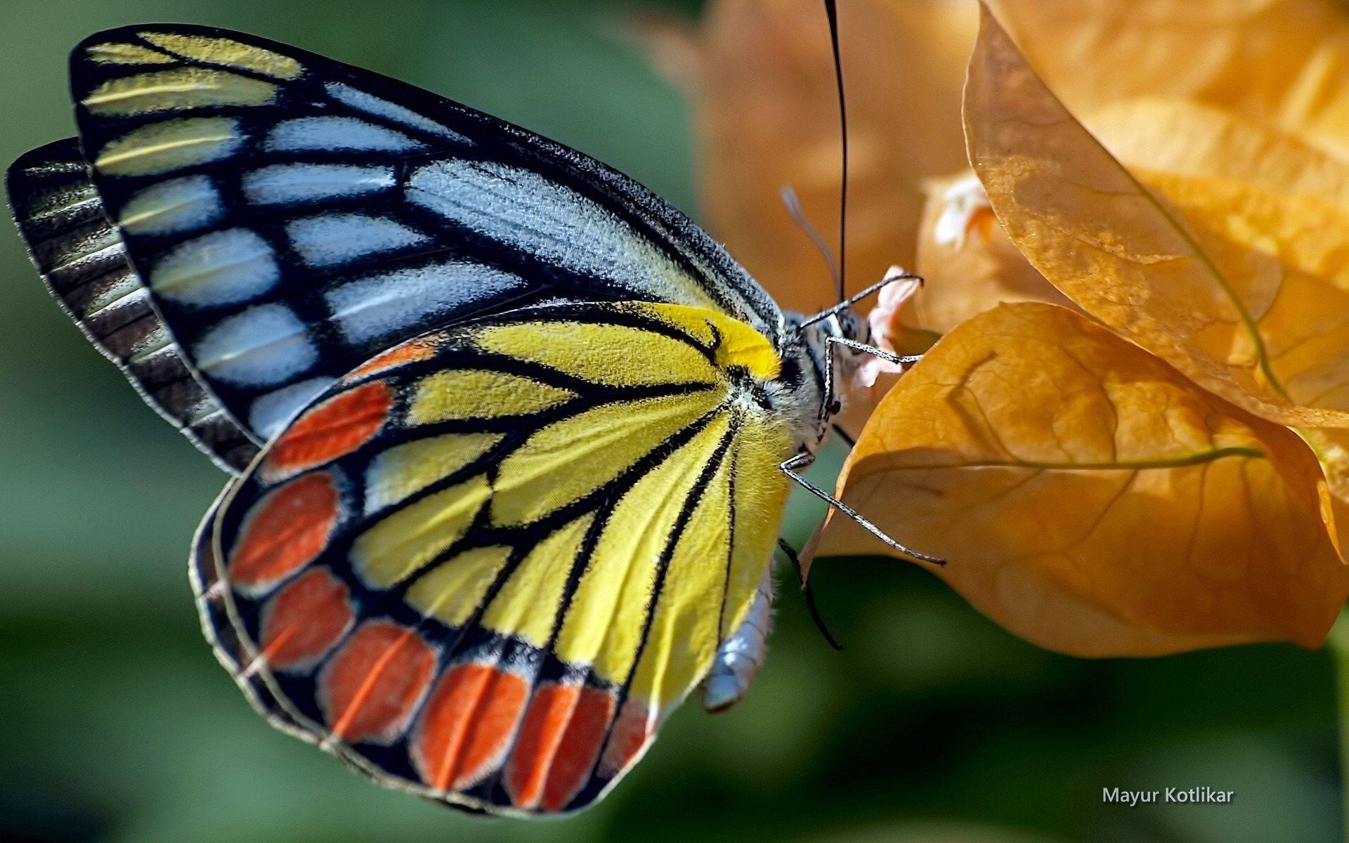 ผลการค นหาร ปภาพสำหร บ ร ปผ เส อสวยๆ Diamond Painting Butterfly Kit Orange Butterfly