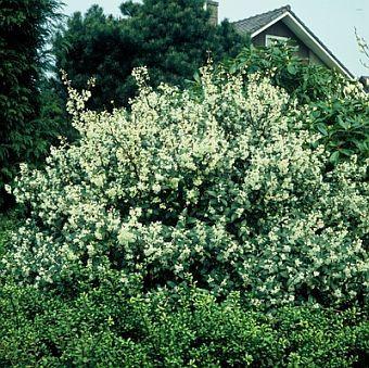 osmanthus burkwoodii - voor aan de vuurschaal