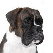 Boxer Puppies For Sale From Boxer Breeders Australia Boxer Breeders Boxer Puppies For Sale Boxer Puppies