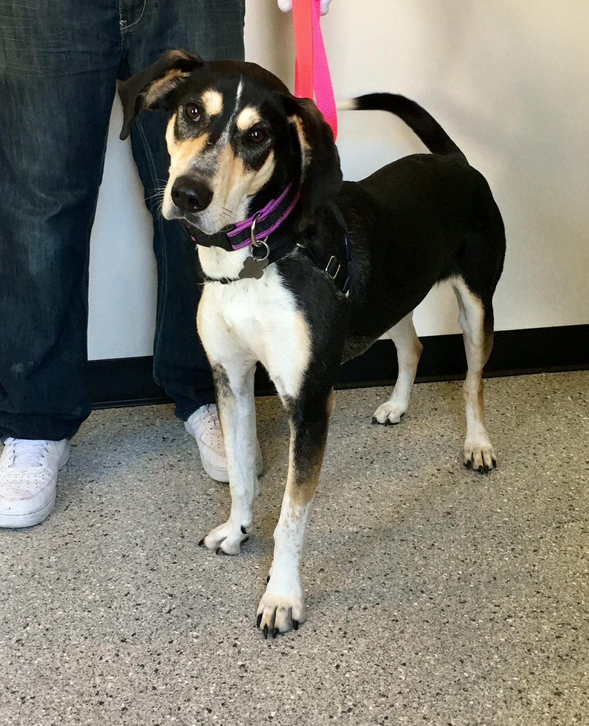 Zelda is an adoptable Hound searching for a forever family