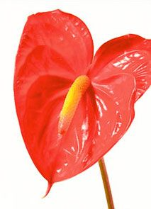With Their Open Heart Shaped Flowers And Tropical Disposition It S No Wonder That Anthurium Hav Flower Meanings Tropical Flower Arrangements Anthurium Flower